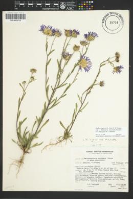 Dieteria bigelovii var. mucronata image