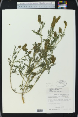 Dalea urceolata image