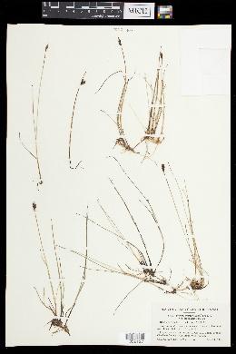 Blysmopsis rufa image