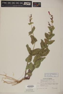 Penstemon pseudospectabilis var. connatifolius image