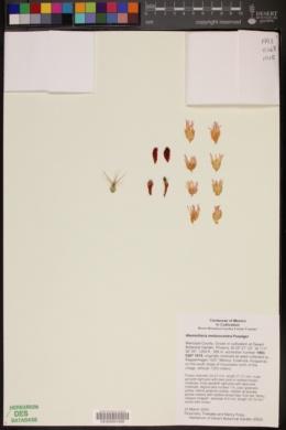 Image of Mammillaria melanocentra