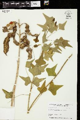 Image of Erythrina herbacea