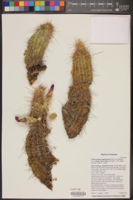 Echinocereus fendleri var. fasciculatus image