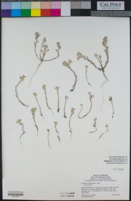 Stylocline gnaphaloides image