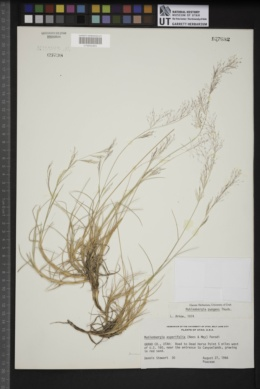 Muhlenbergia pubescens image