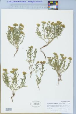 Picradeniopsis woodhousei image