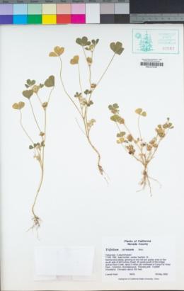 Trifolium cernuum image
