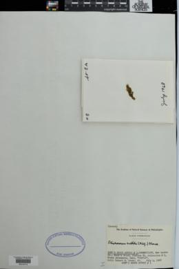 Klebsormidium subtile image