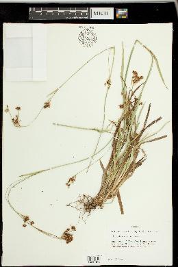 Image of Rhynchospora punctata