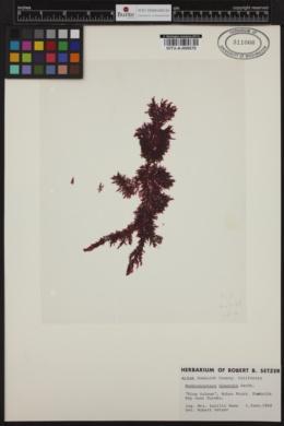 Membranoptera dimorpha image