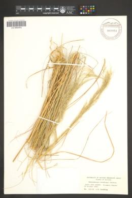 Muhlenbergia gooddingii image