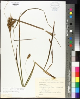 Carex retrorsa image