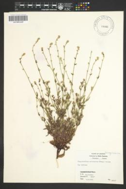 Plagiobothrys arizonicus image