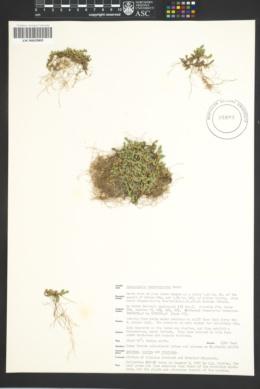Selaginella leucobryoides image