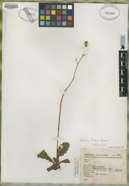 Image of Hieracium hintonii