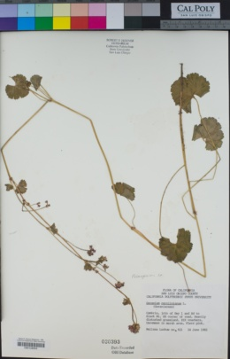 Image of Pelargonium grossularioides