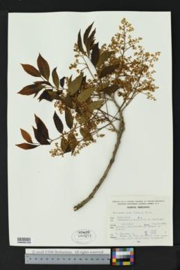 Meliosma alba image