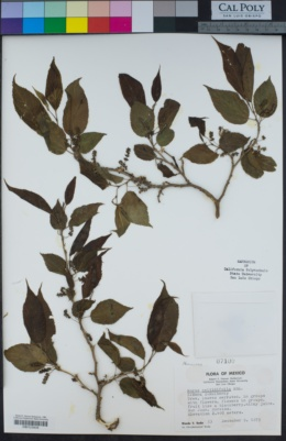 Image of Morus celtidifolia