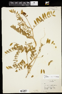 Astragalus canadensis image