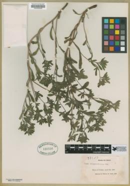 Image of Nama origanifolia
