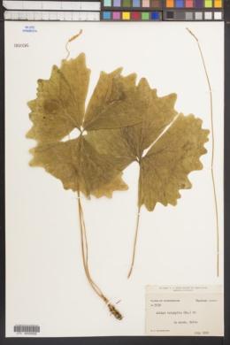 Achlys triphylla image