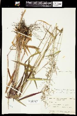 Dichanthelium dichotomum subsp. mattamuskeetense image