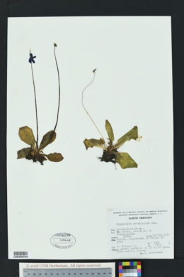 Image of Pinguicula macrophylla