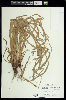 Image of Cyperus digitatus