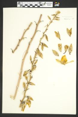 Yucca angustissima image