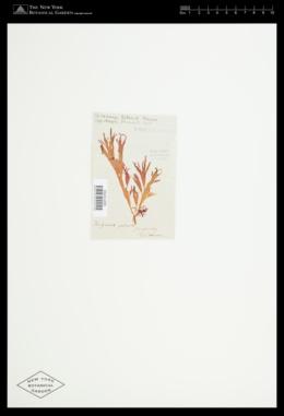 Halymenia palmata image