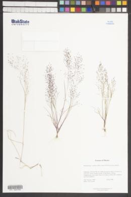 Muhlenbergia capillipes image