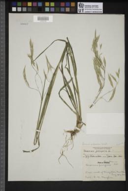 Bromus pubescens image
