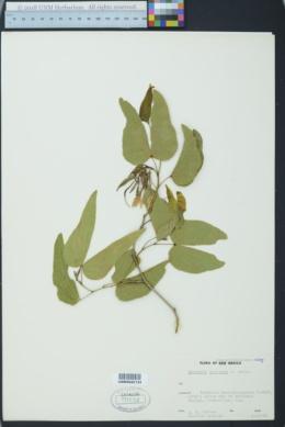 Bauhinia uniflora image