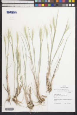Image of Elymus hordeoides