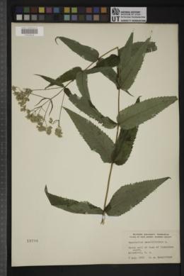 Eupatorium sessilifolium image
