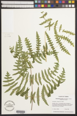 Histiopteris incisa image