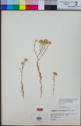 Acamptopappus sphaerocephalus var. sphaerocephalus image