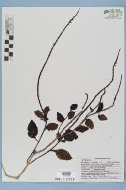 Stachytarpheta jamaicensis image