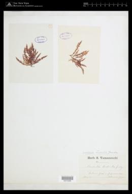 Chondrophycus intermedius image