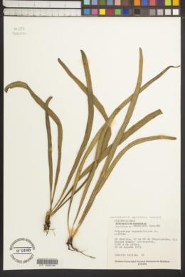 Campyloneurum angustifolium image