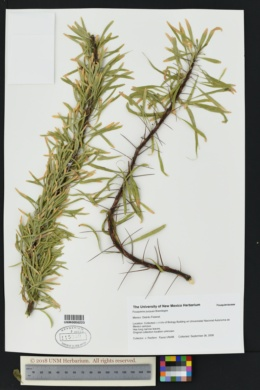 Image of Fouquieria purpusii