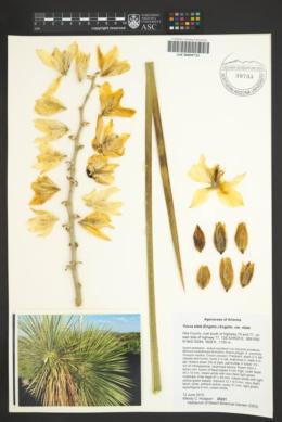 Yucca elata var. elata image