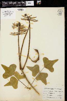 Erythrina arborea image