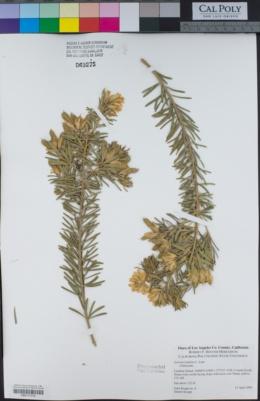 Image of Genista linifolia