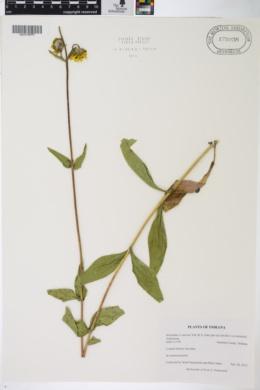Helianthus × cinereus image