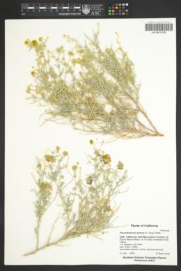 Psorothamnus emoryi image