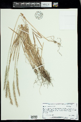 Image of Elymus x saundersii