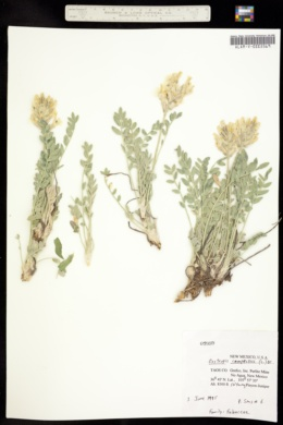 Image of Oxytropis campestris