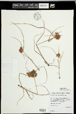 Cyperus engelmannii image