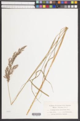 Calamagrostis lanceolata image